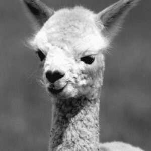 tuinposter alpaca